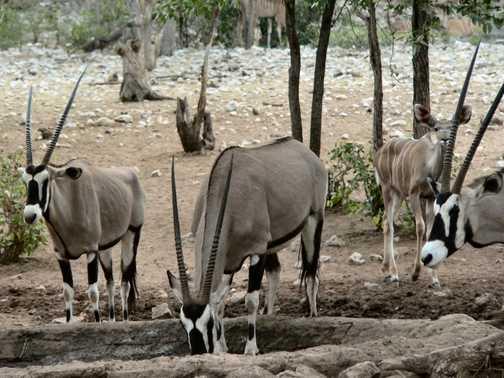 Oryx at Ongava Waterhole