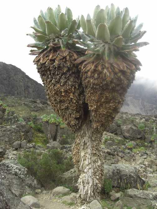 Giant tree groundsels on way to Barranco camp