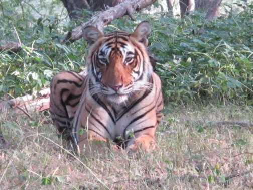 Same tiger