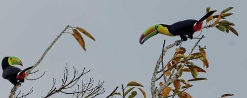 Keel-billed Toucans, Monteverde