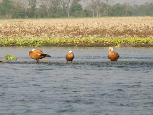 chitwan ducks