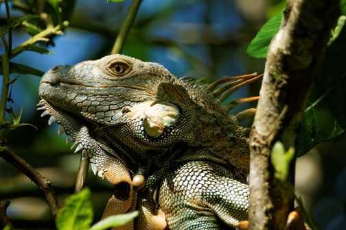 Iguana, Tortuguero