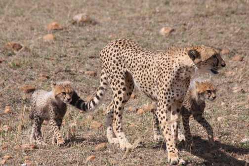 Cheetah and young cubs