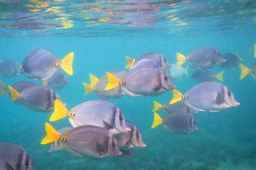 Razor Surgeon Fish