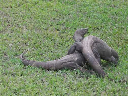 Mating Monitor Lizards :)