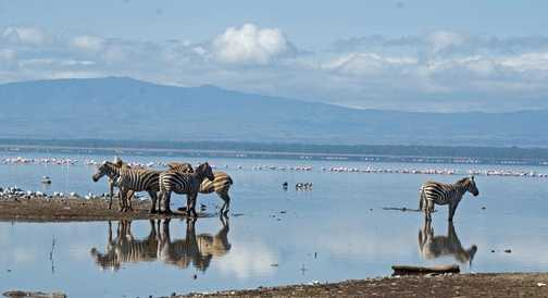 Zebras at Lake Nakuru