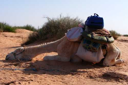 Blond camel