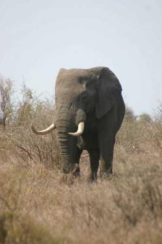 Kruger NP - Tusker