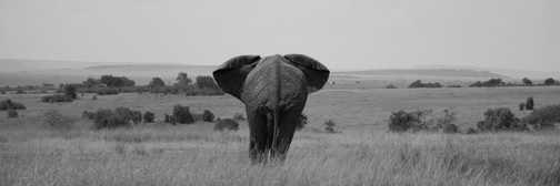 Elephants (Masai Mara)