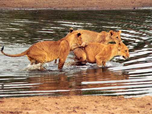 Lion Cubs in the river