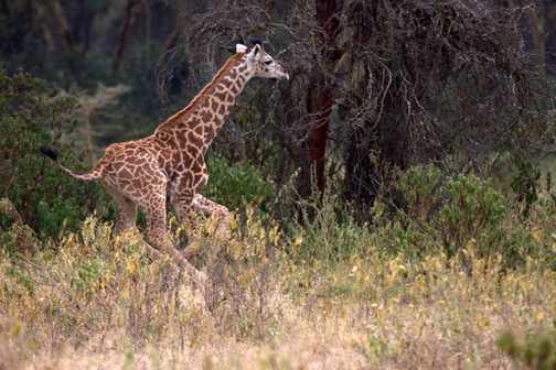 Giraffe - Hells Gate NP Naivasha