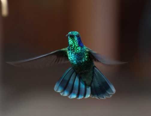 Hummingbird - Savegre