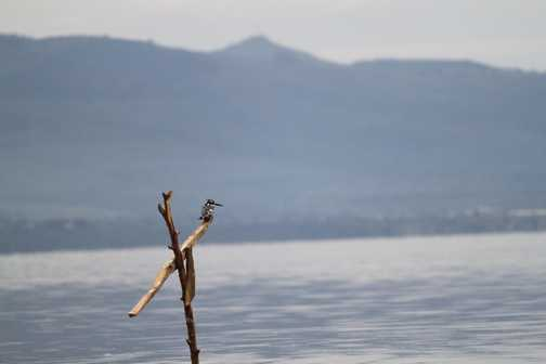 Kingfisher on Lake Naivaisha