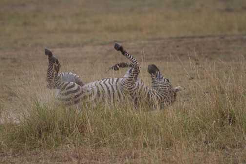 Zebra having a dust bath