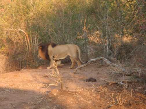Lion - Hlane