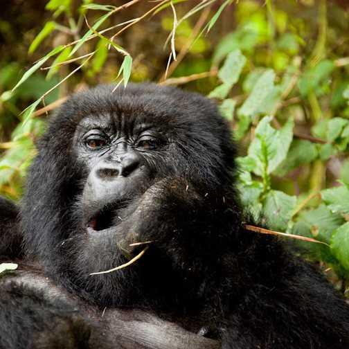 2 month old baby gorilla