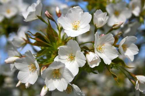 Cherry Blossom 03, Kyoto