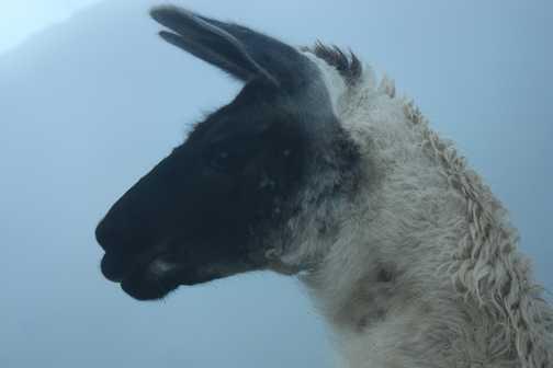 Inca Llama