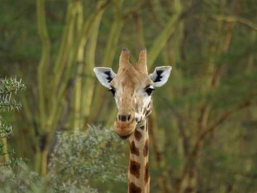 Rothschild Giraffe, Nakuru National Park, Kenya