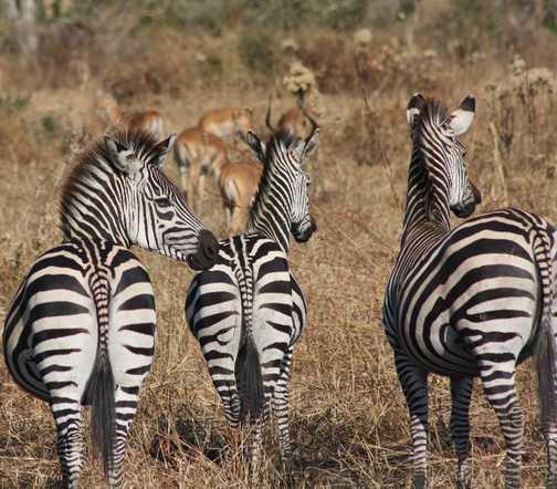 Zebra's at Mikumi National Park