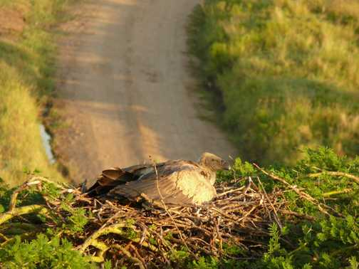 Vulture on nest from balloon