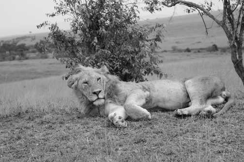 masia mara reaxation with a lion