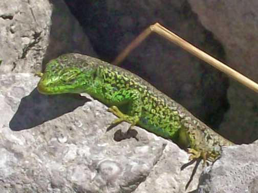 Green lizard!