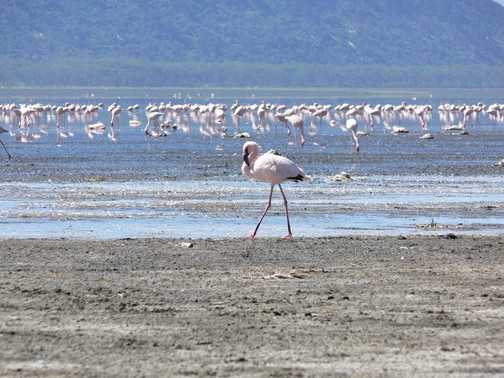 flamingos at Lake Elementaita