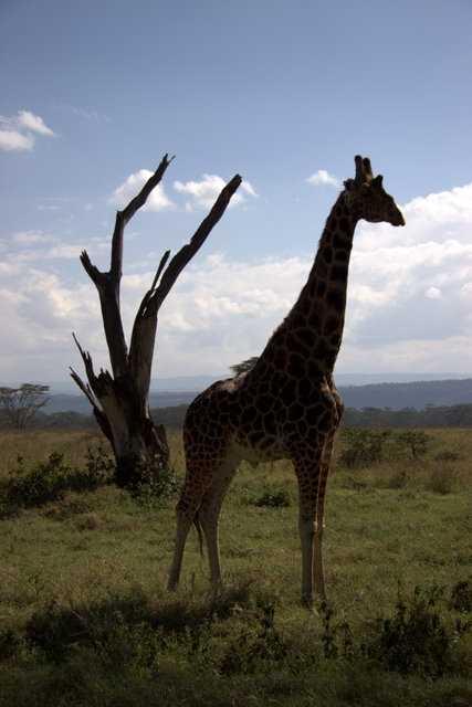 Plain Zebra - Serengeti NP