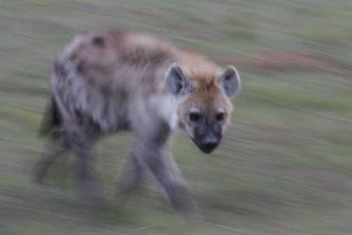 Slow pan hyena