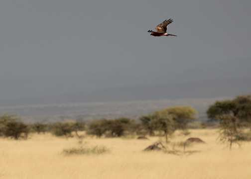 A Montagu's Harrier soars over the savannah - Awash NP