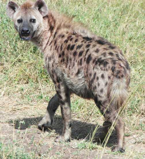 Serengeti ...hyena