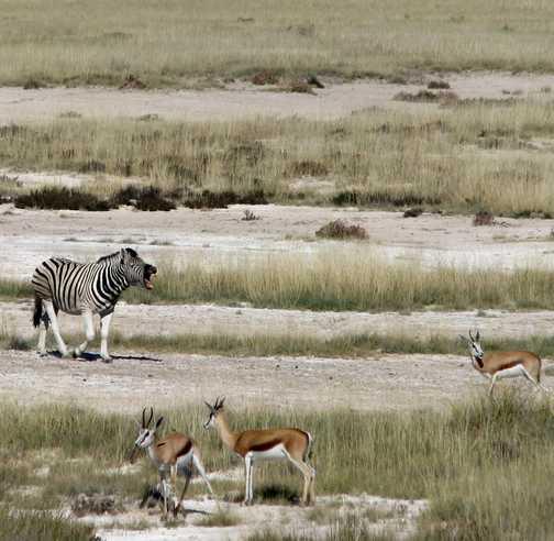 Zebra making its presence known at Etosha NP, Namibia