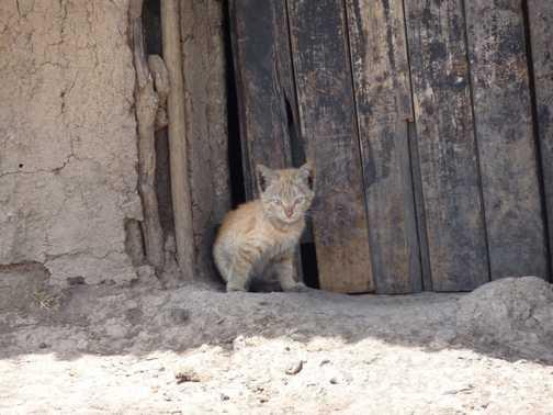 Masai village kitten