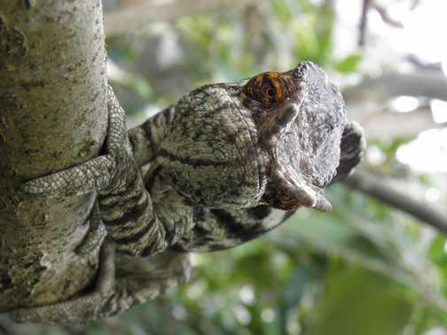 Chameleon up front