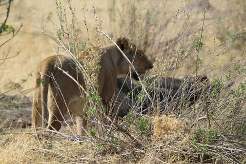 Lioness patrolling the elephant kill