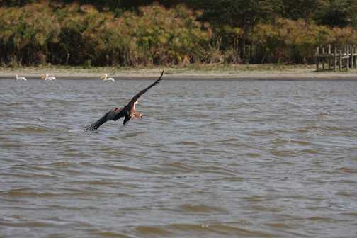 Fish Eagle b