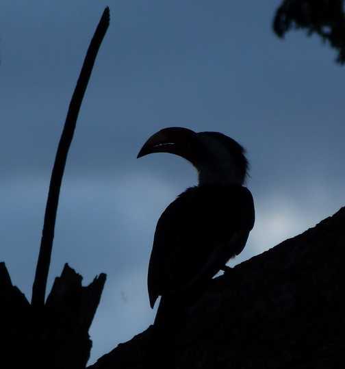 Hornbill sunset