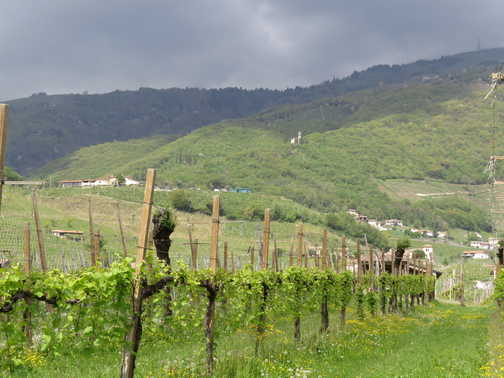 \PROSECCO VINES AS FAR AS THE EYE CAN SEE