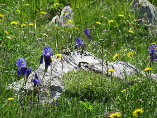 Irises in Paklenica NP