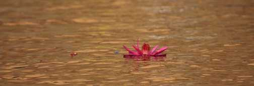The single lotus of life