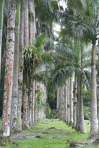 Avenue of palms