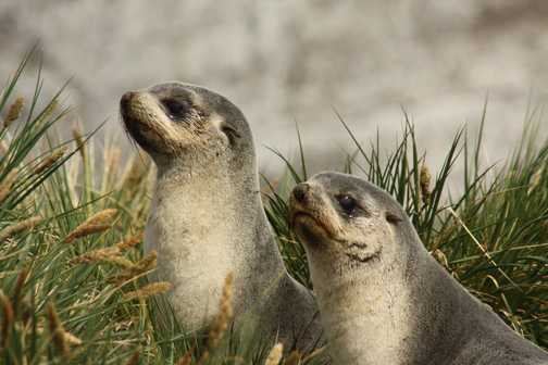 Young Fur Seals at Gold Harbour