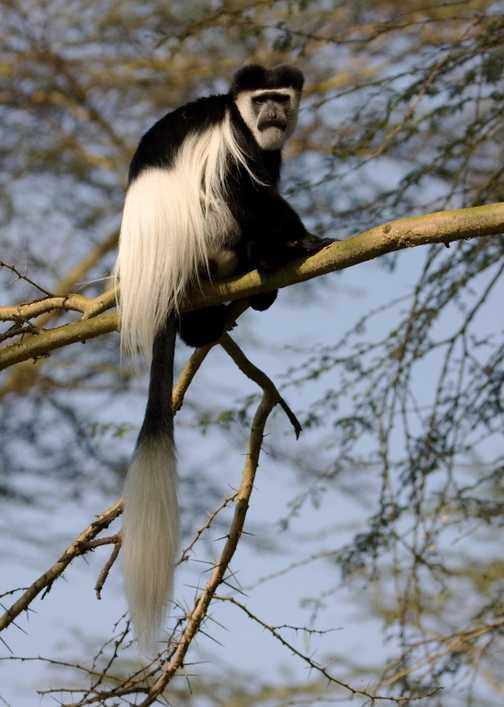 Colobus Monkey, Lake Naivasha