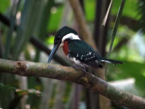 Green Kingfisher - Tortuguero