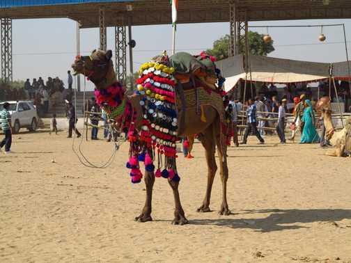 Camel at Pushkar II