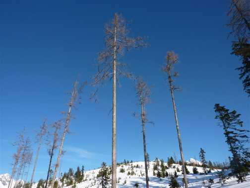 Larch Trees