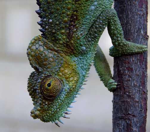 Chameleon closeup