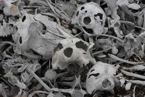 Beluga bones