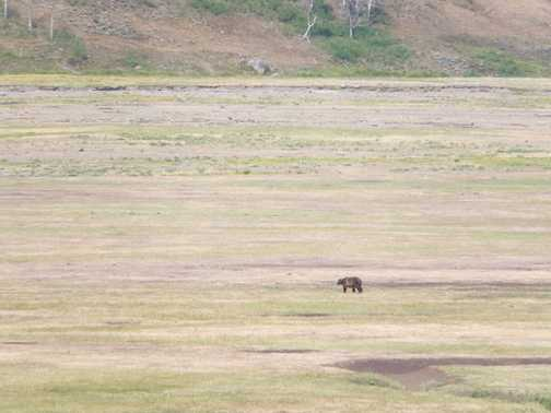 Grizzly bear. This was as it headed away after crossing the road less than 200m behind us!